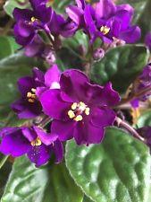 african violet.jpg
